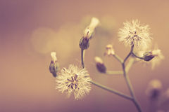 White dandelion Stock Image