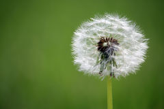 Beautiful white dandelion macro with seed details  – spring background Stock Image