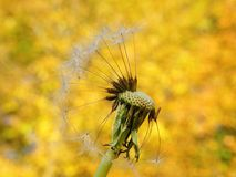 White dandelion fluff. Beautiful white dandelion plant fluff in yellow autumn trees background, Lithuania Stock Photo