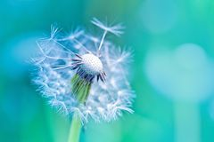 Beautiful white dandelion with seeds on blue background Stock Images