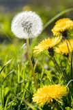 Beautiful white dandelion with seeds on meadow. In the sunlight Royalty Free Stock Photo