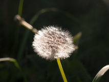 A beautiful white dandelion sharp and clear detail focused in sp. Ring sun light sun set flower stock photos