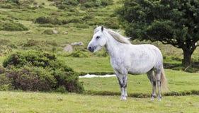 A Beautiful White Dartmoor Pony, Devon, England. A Beautiful White Dartmoor Pony Stands Alone in Dartmoor National Park, Devon England stock images