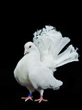 Beautiful white decorative dove Royalty Free Stock Photo