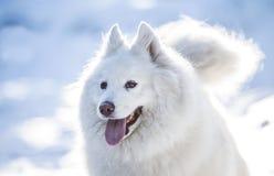 Beautiful white dog Stock Images