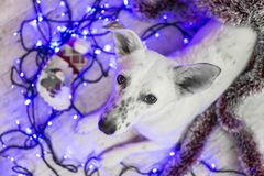 Beautiful white dog. Christmas photo. Happy New Year and Merry Christmas Royalty Free Stock Photography