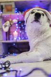 Beautiful white dog. Christmas photo. Happy New Year and Merry Christmas Stock Photo