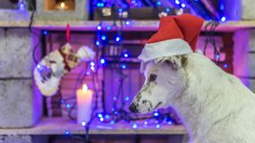 Beautiful white dog. Christmas photo. Happy New Year and Merry Christmas Stock Photos