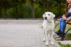 Beautiful white dog having fun in the park. Pet concept. Cute a white dog walking outdoors in the park. Doggie standing on the nature background. Close-up of Stock Photography