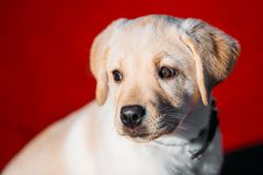 Beautiful White Dog Lab Labrador Retriever Pup Royalty Free Stock Photography