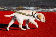 Beautiful White Dog Lab Labrador Retriever Pup Royalty Free Stock Photo