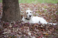 Beautiful white dog laying in Fall leaves Royalty Free Stock Images