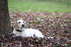 Beautiful white dog laying in Fall leaves. Beautiful white dog with brown ears laying in Autumn leaves under a tree royalty free stock image