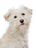 Beautiful white dog looking at camera Royalty Free Stock Image