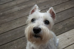 Beautiful white dog on wooden deck. Close up of Mini Schnauzer. Beautiful white mini schnauzer sitting on wooden deck. Close up image of small white dog. Copy Royalty Free Stock Photography