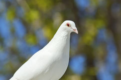 Beautiful white dove close-up Stock Photography