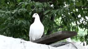 Beautiful White dove stock video footage