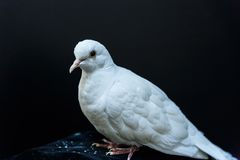 Beautiful white dove Royalty Free Stock Image