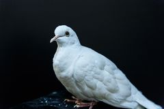 Beautiful white dove Stock Images