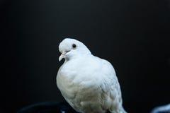 Beautiful white dove Royalty Free Stock Image