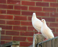 Beautiful White Dove Royalty Free Stock Photography