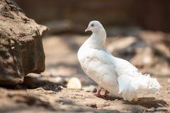 Beautiful white dove Stock Photos