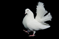 Beautiful white dove walking Royalty Free Stock Image