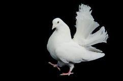 Beautiful White Dove Walking Royalty Free Stock Image
