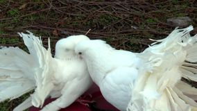 Beautiful white doves. Two beautiful white doves with fluffy tails stock footage