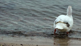 Beautiful white duck. On the beach stock video