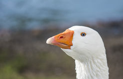 Beautiful white duck stretching its neck. A beautiful white duck in the wild Royalty Free Stock Photography