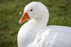 Beautiful white duck. A beautiful white duck in the wild Stock Photo