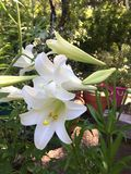 Easter lily. Beautiful white easter lily in bloom Royalty Free Stock Image
