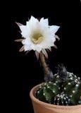 Beautiful white Echinopsis subdenudata flower Stock Images