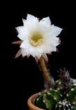 Beautiful white Echinopsis subdenudata flower Stock Photography