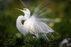 Beautiful white egret in breeding plumage fluffs up his feathers on display. Facing left stock photos