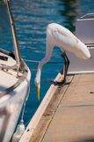 Beautiful white egret on the edge of a dock in a marina near a boat with it`s neck extended and looking down. stock photos