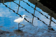 Beautiful white egret walking through the mud during low tide royalty free stock images