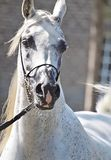 Beautiful white egyptian arabian horse. Beautiful egyptian arabian horse at a show royalty free stock images