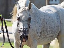 Beautiful white egyptian arabian horse. Beautiful egyptian arabian horse at a show stock image