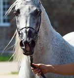 Beautiful white egyptian arabian horse. Beautiful egyptian arabian horse at a show royalty free stock photos