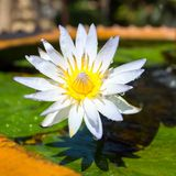 Beautiful white Egyptian water lily flower Royalty Free Stock Photography