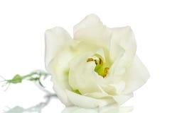 Beautiful white eustoma flower Royalty Free Stock Photo