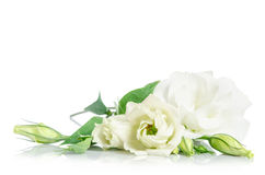 Beautiful white eustoma flowers Stock Photo