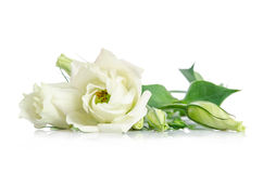 Beautiful white eustoma flowers. On white background Royalty Free Stock Image
