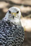 Beautiful white falcon with black and gray plumage Stock Photography
