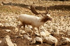 Beautiful white fallow deer Stock Photography
