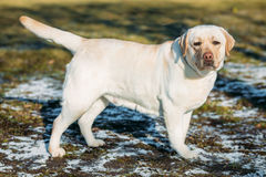 Beautiful White Female Labrador Retriever Lab Dog Staying Outdoor Royalty Free Stock Images