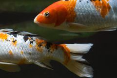 Beautiful white fish with orange spots under water stock images