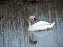 White swan in spring river, Lithuania Royalty Free Stock Photo